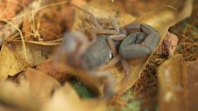 Primo piano dello scorpione pericoloso di Brown, Costa Rica video d archivio
