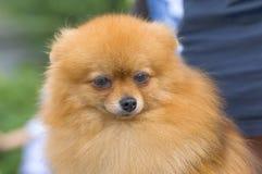 Primo piano dello Spitz del cane fotografia stock