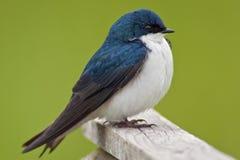 Primo piano dello Swallow di albero Fotografie Stock
