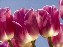 Primo piano dentellare dei tulipani Fotografie Stock
