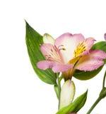 Primo piano dentellare del fiore Immagine Stock