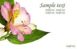 Primo piano dentellare del fiore Immagini Stock Libere da Diritti