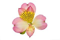 Primo piano dentellare del fiore, alstroemeria Fotografie Stock Libere da Diritti