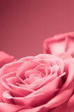 Primo piano dentellare delle rose sui precedenti rossi Immagine Stock Libera da Diritti