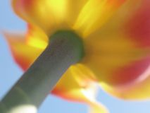 Primo piano dentellare e giallo del tulipano Fotografia Stock Libera da Diritti