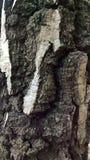 Primo piano dettagliato di vecchio albero di betulla d'argento Fotografia Stock