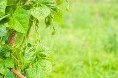 Primo piano di agricoltura di eco del solarium dei fagiolini Immagini Stock Libere da Diritti