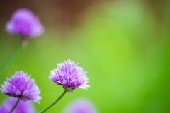 Primo piano di allium di fioritura con fondo confuso Fotografia Stock Libera da Diritti