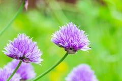 Primo piano di allium di fioritura con fondo verde confuso Fotografia Stock