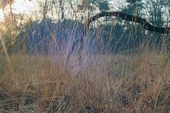 Primo piano di alta erba gialla con la foresta vaga nel fondo Fotografie Stock Libere da Diritti