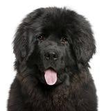 Primo piano di ansimare del cucciolo della Terranova Fotografia Stock