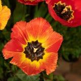 Primo piano di arancio e di giallo in piena fioritura Immagine Stock