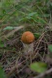 Primo piano di auranthias del Leccinum nella foresta Fotografia Stock Libera da Diritti
