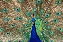 Primo piano di ballo del pavone fotografia stock