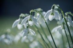 Primo piano di bei bucaneve coperti di goccioline della pioggia fotografie stock libere da diritti