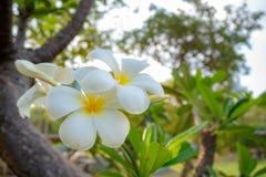 Primo piano di bei fiori bianchi in parco sul fondo verde vago degli alberi fotografie stock libere da diritti
