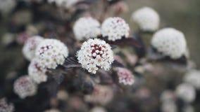 Primo piano di bei fiori bianchi su un cespuglio video d archivio