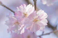 Primo piano di bei fiori di ciliegia o sakura rosa fotografia stock