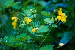 Primo piano di bei fiori gialli nel giardino Fotografia Stock Libera da Diritti