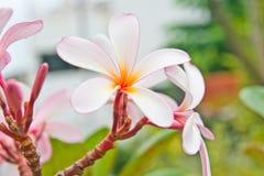 Primo piano di bei fiori sbocciati del Frangipani Fotografia Stock