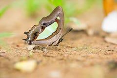 Primo piano di bella farfalla che riposa sulla terra Immagine Stock Libera da Diritti
