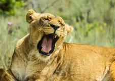Primo piano di bella giovane leonessa africana marrone che rugge fotografie stock