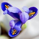 Primo piano di bella iride luminosa pittoresca su fondo leggero, cartolina d'auguri floreale a tutti i momenti meravigliosi di Immagine Stock Libera da Diritti
