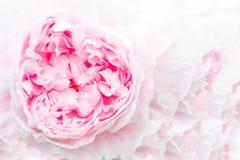 Primo piano di bella peonia rosa su un fondo rosa Immagini Stock Libere da Diritti