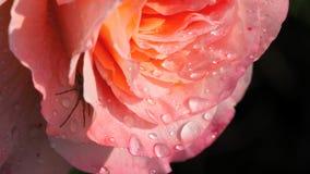 Primo piano di bella Rosa rosa con le gocce di pioggia stock footage