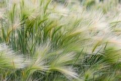 Primo piano di bella stipa pennuta con una sfuocatura di erba verde come fondo Concetto astratto freddo di rilassamento della nat immagine stock