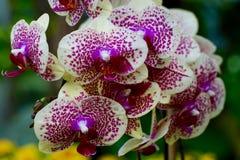 Primo piano di bello fiore dell'orchidea in fioritura Immagini Stock Libere da Diritti