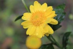 Primo piano di bello fiore giallo, di macrofotografia, di gocce di rugiada o di gocce di acqua sul fiore immagine stock libera da diritti