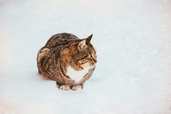 Primo piano di bello gatto lanuginoso dello zenzero con il seno bianco su neve fresca un giorno di inverno soleggiato Immagine Stock