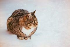 Primo piano di bello gatto lanuginoso dello zenzero con il seno bianco su neve fresca un giorno di inverno soleggiato Fotografia Stock