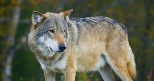Primo piano di bello lupo grigio che sta nell'osservazione della foresta video d archivio