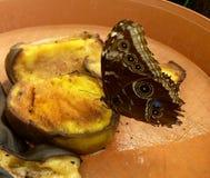 Primo piano di bello Owl Butterfly tropicale, frutti d'alimentazione di Caligo Memnon Fotografie Stock