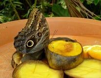 Primo piano di bello Owl Butterfly tropicale, frutti d'alimentazione di Caligo Memnon Immagini Stock