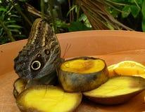 Primo piano di bello Owl Butterfly tropicale, frutti d'alimentazione di Caligo Memnon Fotografie Stock Libere da Diritti