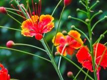 Primo piano di bello pulcherrima rosso e giallo di Caesalpinia fotografie stock libere da diritti