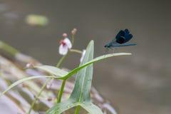Primo piano di bello riposo verde e blu della libellula Immagine Stock