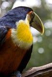 Primo piano di bello toucan Fotografie Stock Libere da Diritti