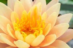 Primo piano di bello vecchio fiore di loto rosa Fotografia Stock