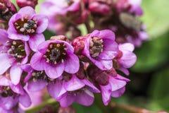 Primo piano di bergenia del fiore Fotografie Stock