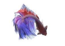 Primo piano di Betta Fish Dragon Fish variopinto Immagini Stock Libere da Diritti