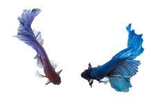 Primo piano di Betta Fish Dragon Fish variopinto Fotografia Stock