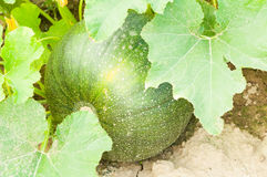 Primo piano di bio- zucca verde pronta ad essere harvestedClose-up del gr Fotografia Stock