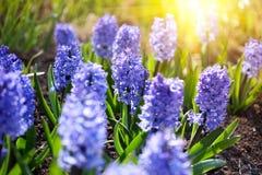 Primo piano di Bluebells in un giardino in primavera Fotografie Stock Libere da Diritti