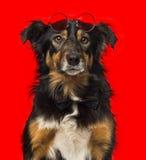 Primo piano di border collie con gli occhiali da sole rotondi rossi Fotografie Stock