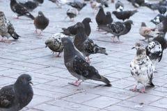 Primo piano di camminata dei piccioni Fotografia Stock