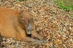 Primo piano di capybara Fotografie Stock Libere da Diritti